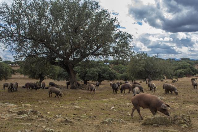 Extremadura-Dehesa-Cerdo-Iberico